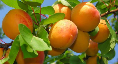 Proprietà, benefici e controindicazioni delle albicocche per la salute: perché mangiarle